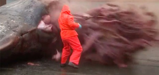 A 40-ton sperm whale explodes on an animal control employee at Bayport.