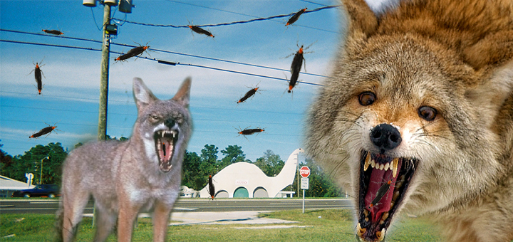 coyotes_lovebugs